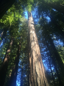 Towering Redwoods